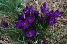 Crocus (Grandtully)