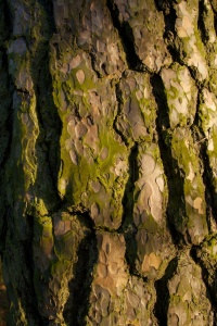 Scots pine 1 (1)