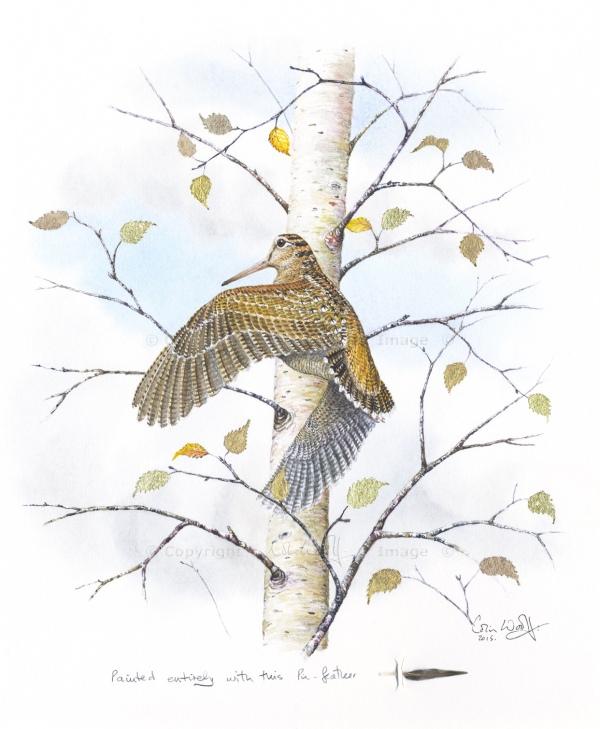 Eurasian woodcock pin-feather (1)