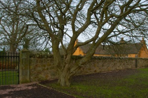 Prunus, Rosslyn Chapel (7)