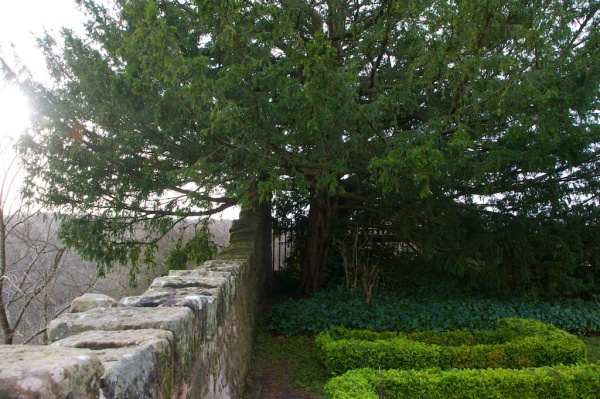 Yew tree, Rosslyn Chapel (3)