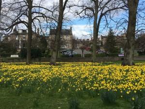Daffodils, Perth 7th April (1)