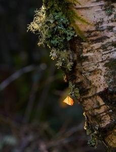 Achnabreck (4) - birch