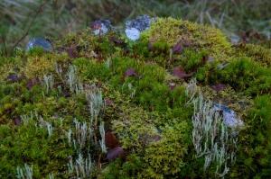 Achnabreck (3) - lichens and moss