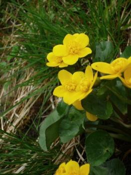 Marsh Marigold, King Cup 2