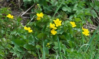 Marsh Marigold, King Cup 5