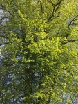 Lime Trees 13 May 4
