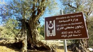 Olive trees, Lebanon (3)
