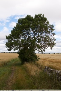 Ash tree near Athelstaneford