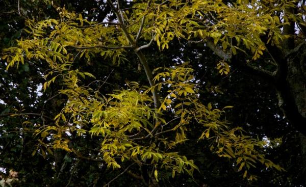Ash tree in autumn 2