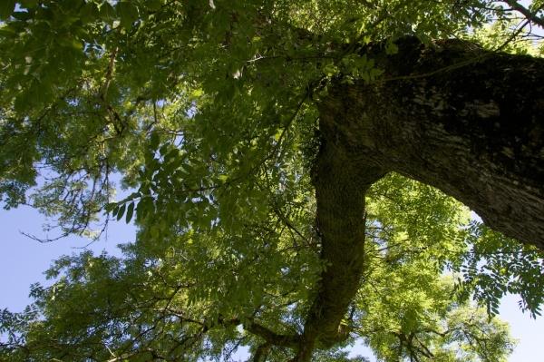 Ash tree, Castle Lachlan JW 47