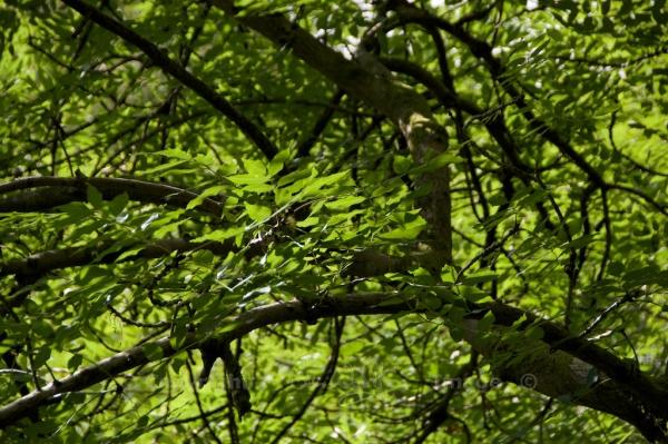 Ash tree Dollar Glen