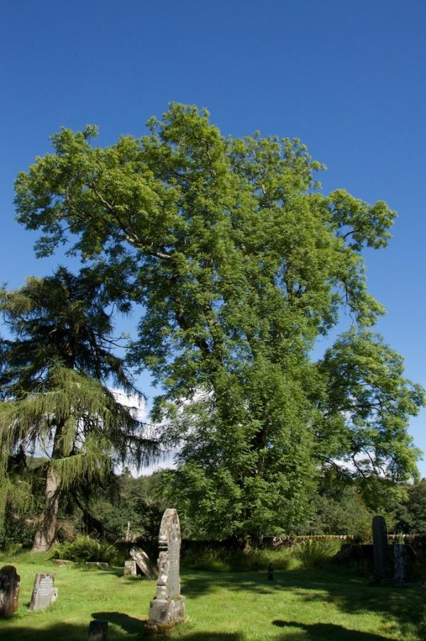 Ash tree, Kilmorie chapel 42