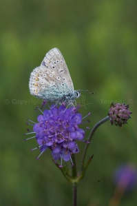 Common Blue butterfly on Scabious 5