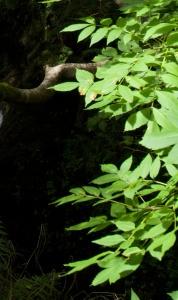 Ash leaves, Dollar Glen 115