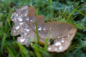 kilmorie-oak-leaf