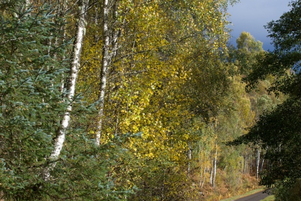aspen-with-birch