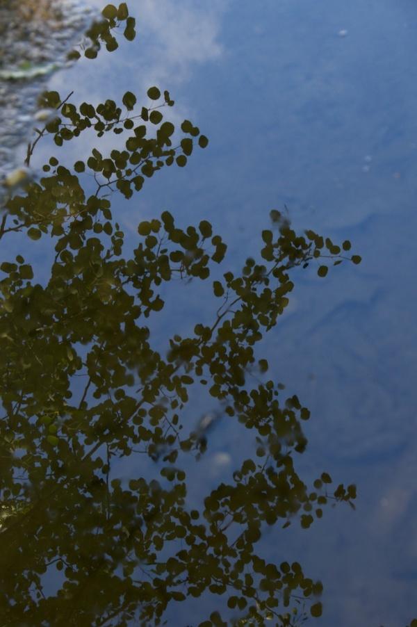 Aspen reflected in water, Castle Lachlan