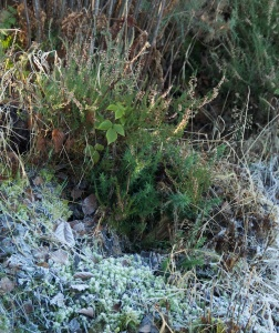 Frost on gorse and moss